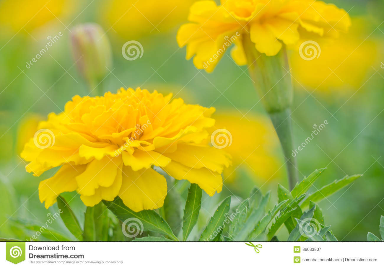 Yellow Aster Flowers In The Garden As Background Stock Image