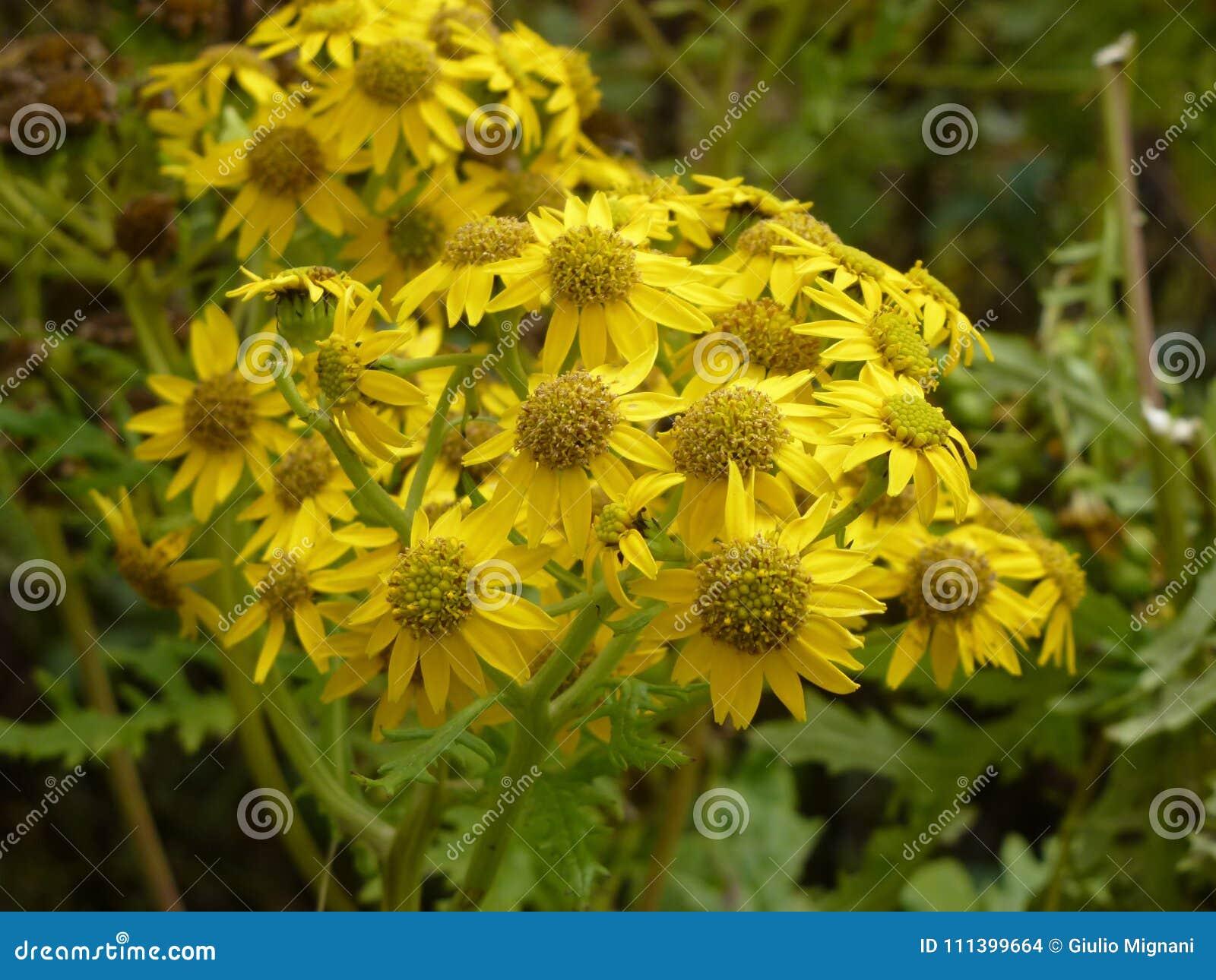 Yellow Aster Flowers In Namche Bazaar Everest Base Camp Trek Nepal