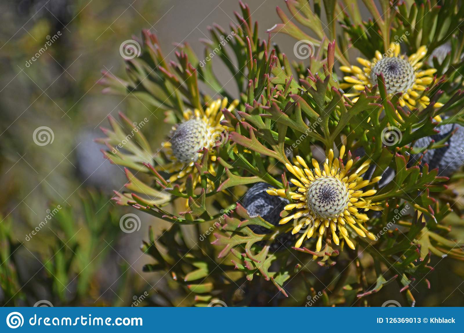 Yellow australian native broad leaf drumstick flowers stock image download yellow australian native broad leaf drumstick flowers stock image image of anemonifolius mightylinksfo