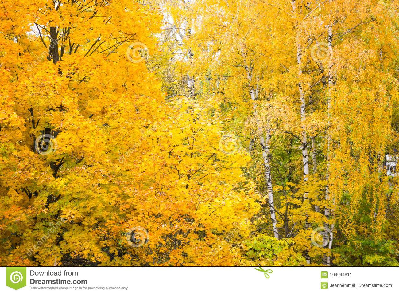 Yellow autumn birch and maple trees in the forest
