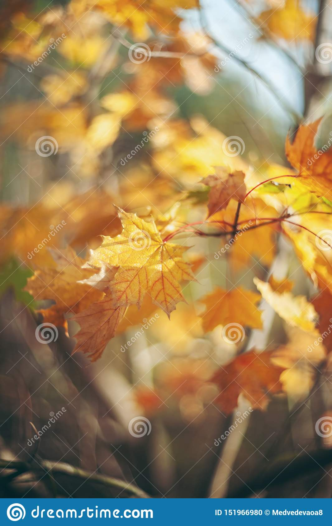 Yellow autumn colors of foliage. Branch with yellow leaves on a blurred background. Copy space. Background. Blur