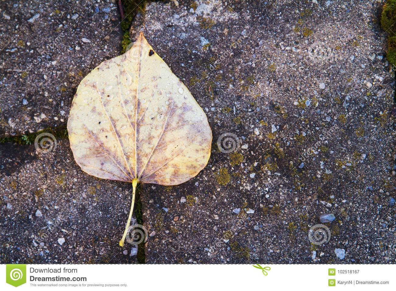 Download Yellow Autumn Leaf After The Rain Resting On Stone Patio Tiles  Stock Image   Image