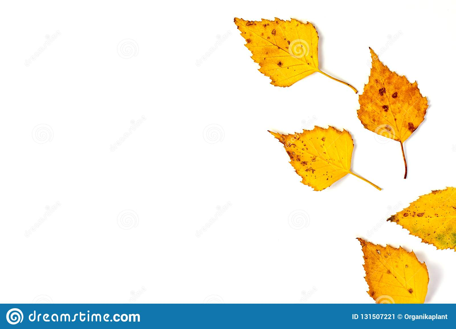 Yellow autumn leaves isolated on white background. Autumn, fall concept. Flat lay, top view