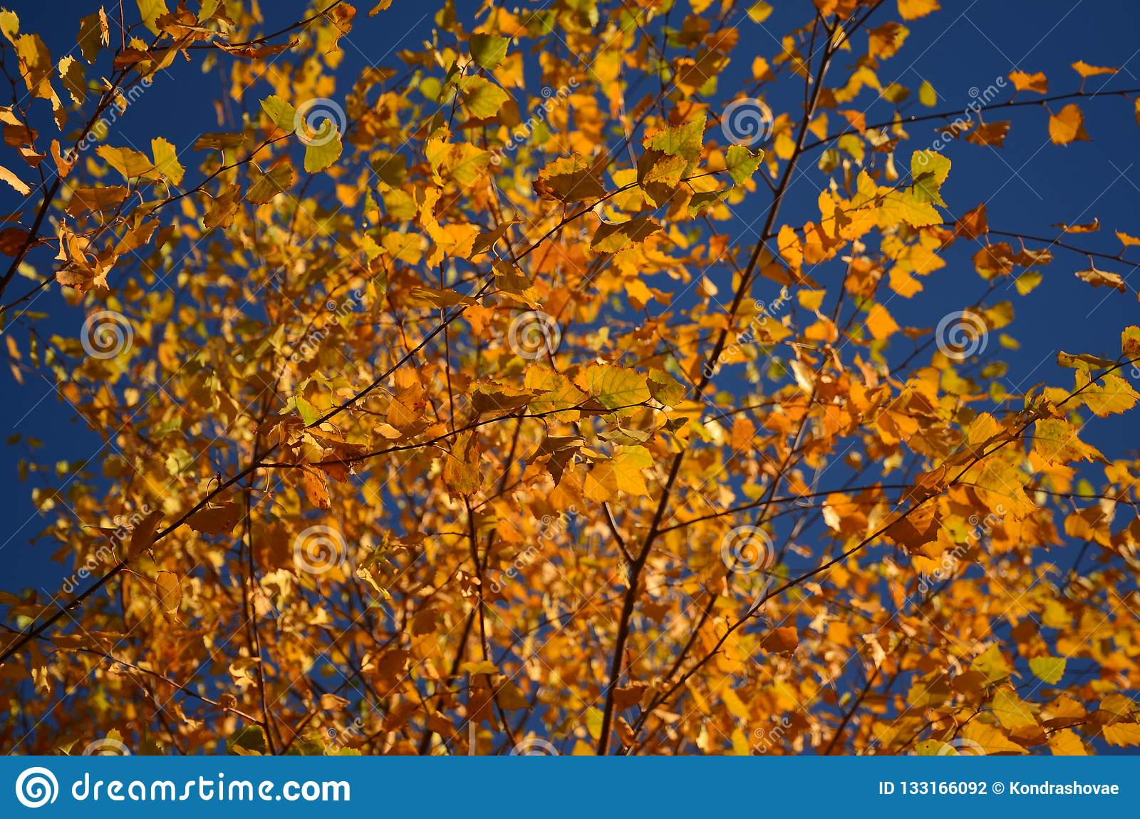 Yellow autumn leaves on the tree