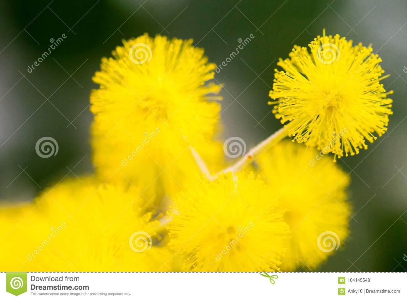 Yellow ball flowers indoors over dark background stock photo image download yellow ball flowers indoors over dark background stock photo image of detail bunch mightylinksfo
