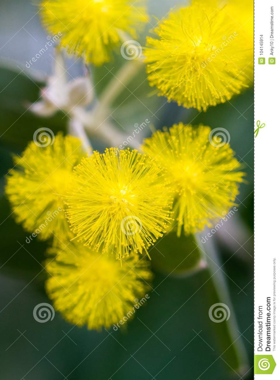 Yellow Ball Flowers Indoors Over Dark Background Stock Photo Image