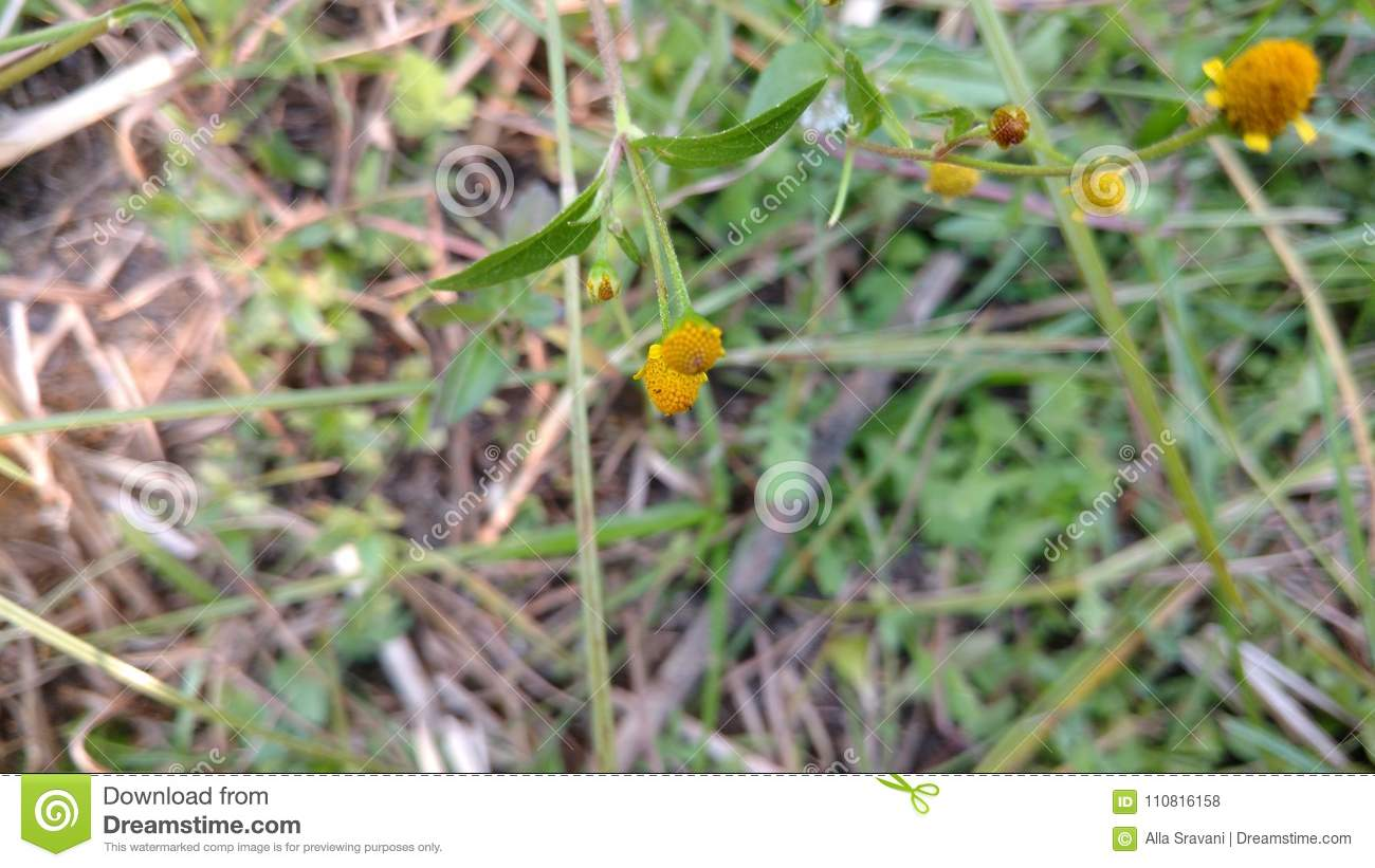 Yellow Ball Flowers Stock Photo Image Of Picture Outdoor 110816158