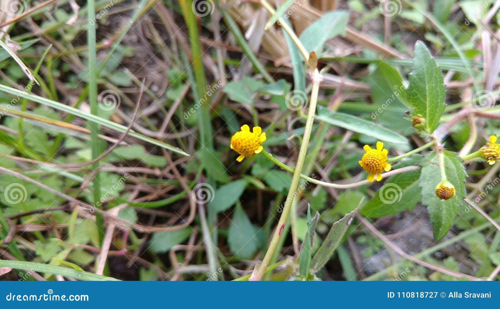 Yellow Ball Flowers Stock Image Image Of Nature Latest 110818727