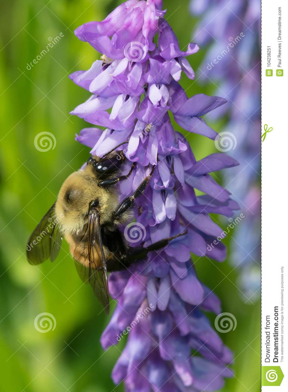 Download Common Eastern Bumble Bee - Bombus Impatiens Stock Image - Image of north, samuel: 104238251