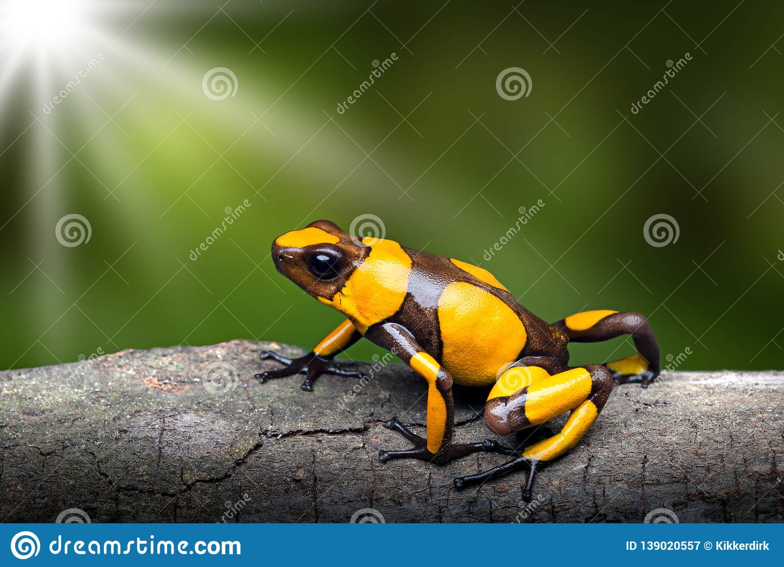 Yellow banded poison dart frog, Oophaga histrionica