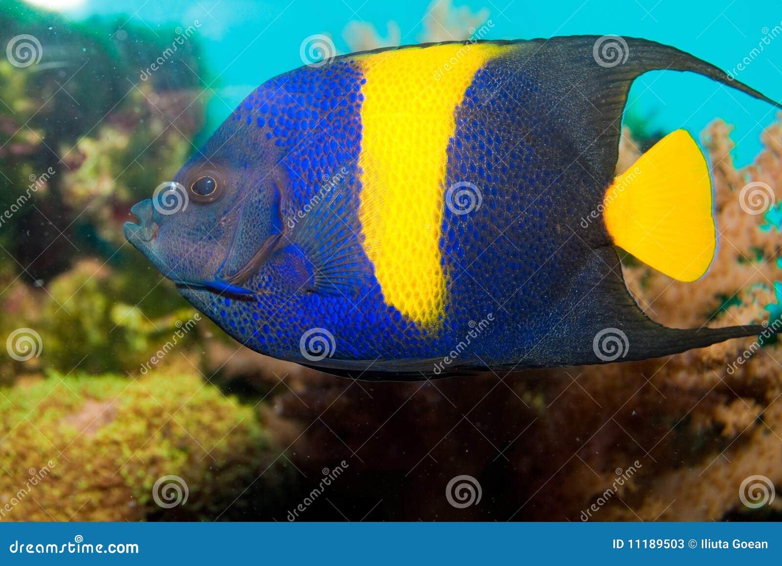 Yellow-Bar or Half Moon Angelfish