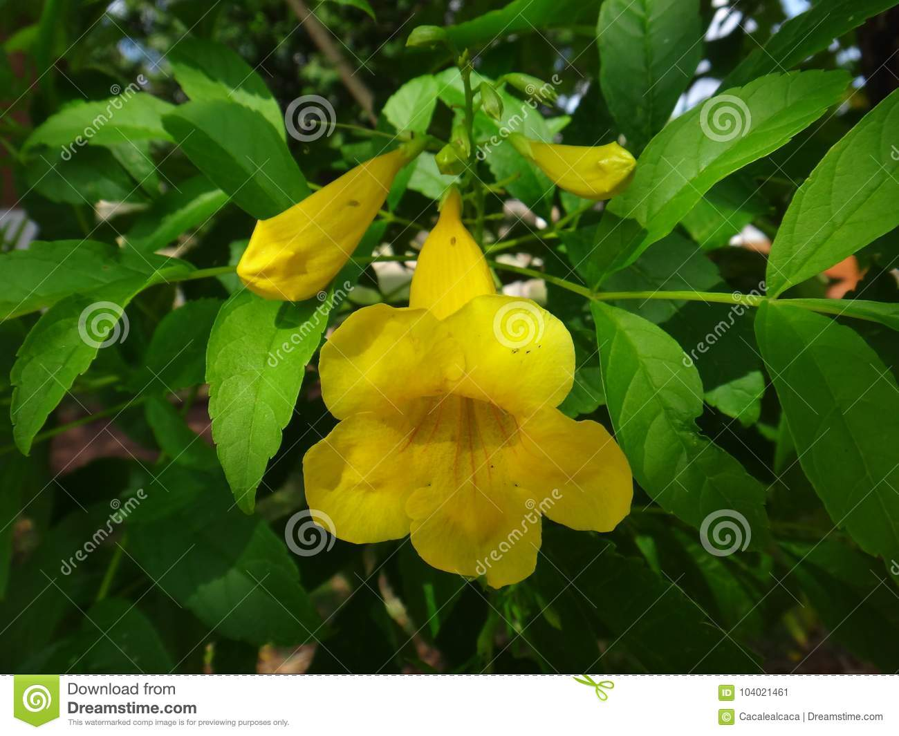 Yellow bell flower and buds stock image image of flowering yellow bell flower and buds mightylinksfo