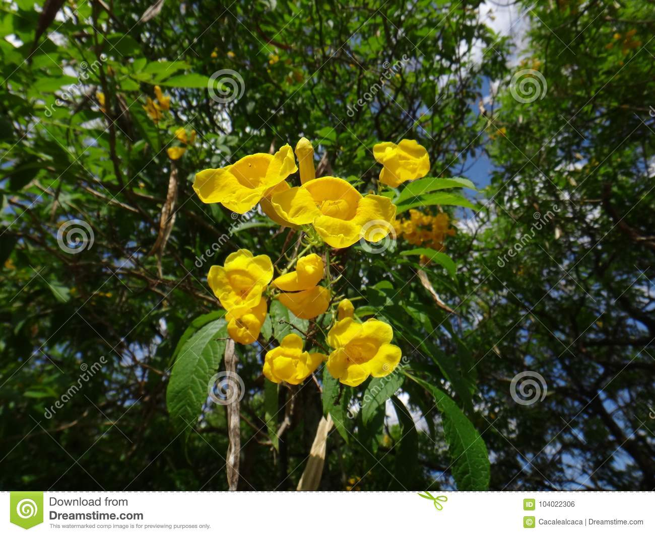 Yellow bell flowers and buds stock photo image of fragrant royalty free stock photo mightylinksfo
