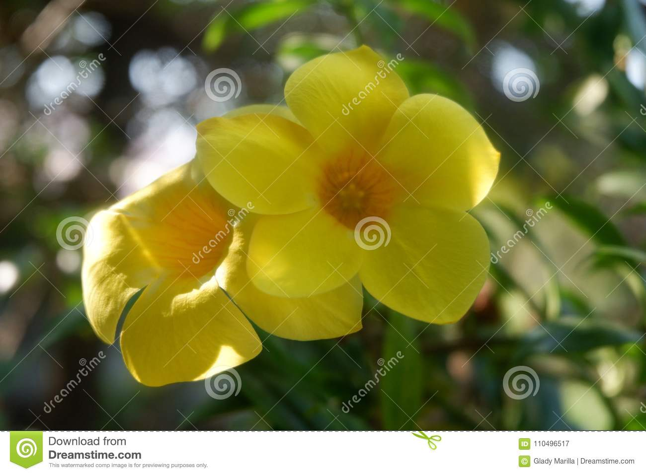 Yellow bell flowers stock image image of flowers bell 110496517 yellow bell flowers mightylinksfo