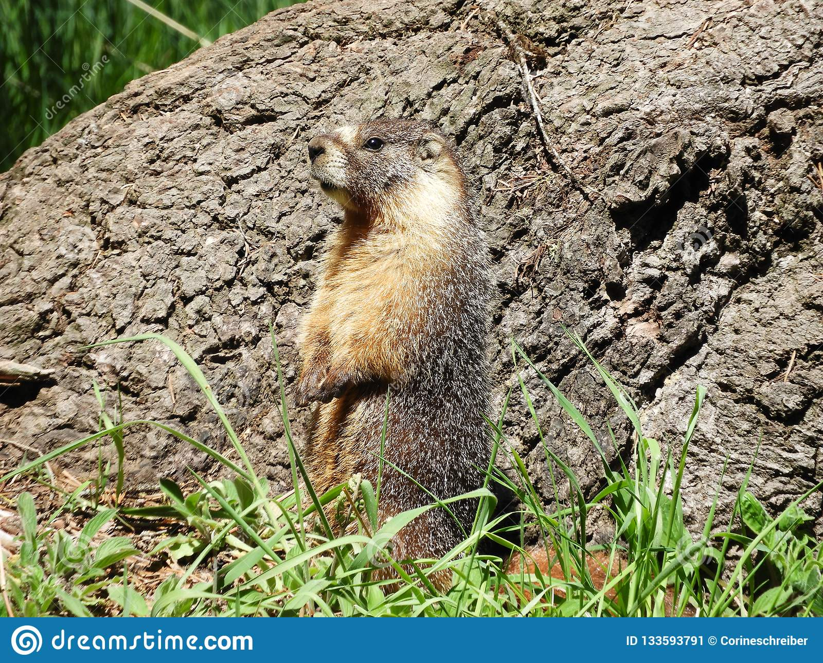 A Yellow-bellied Marmot In Sequoia National Park Stock Image