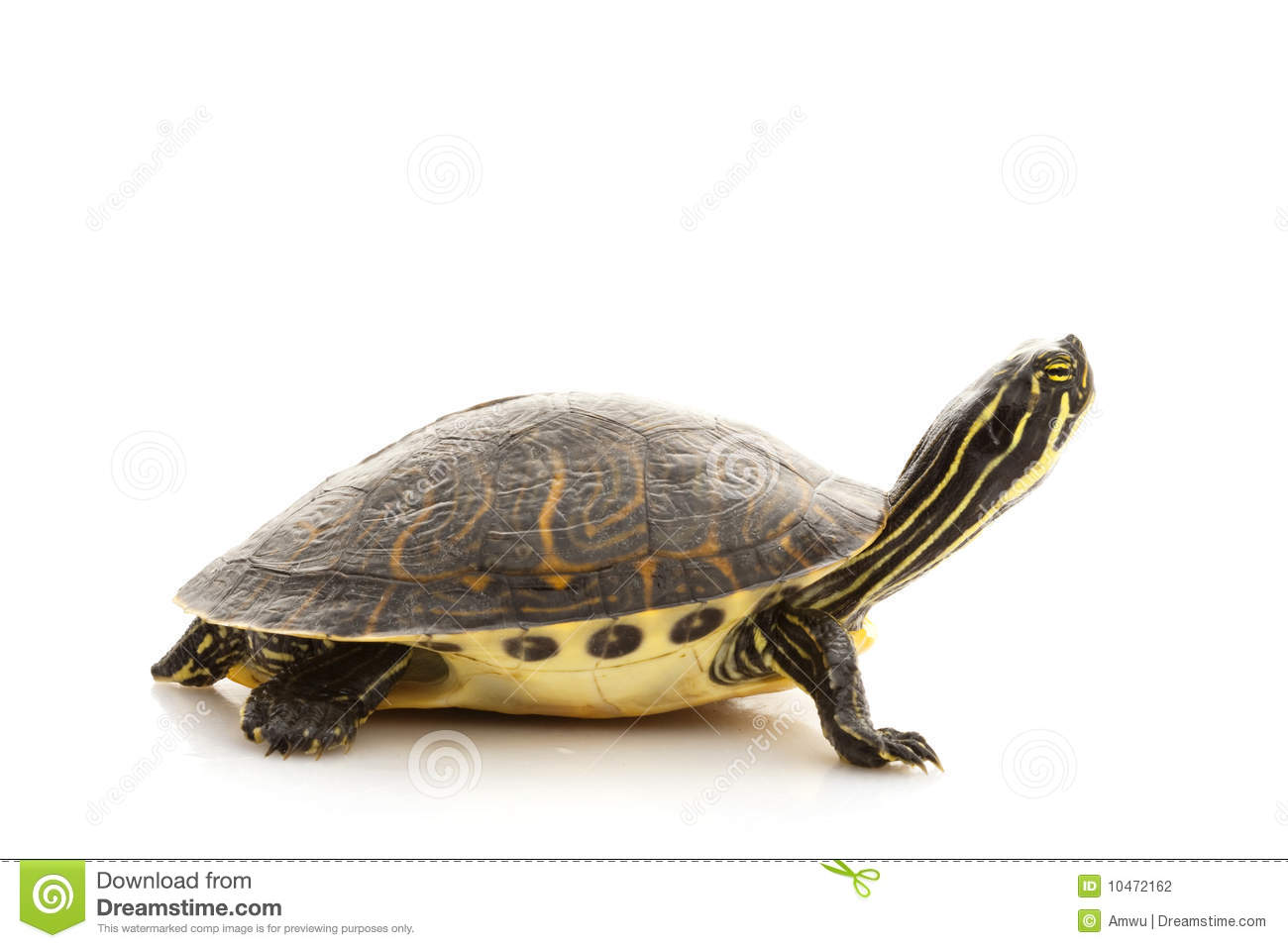 Yellow-bellied Slider (Trachemys scripta scripta) isolated on white ... African Lion Footprints