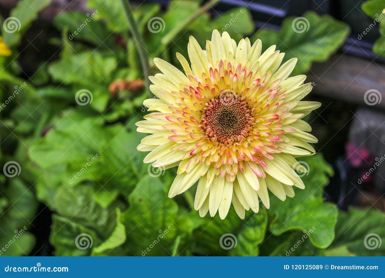 Yellow big flower stock image image of leaves summer 120125089 yellow big flower mightylinksfo