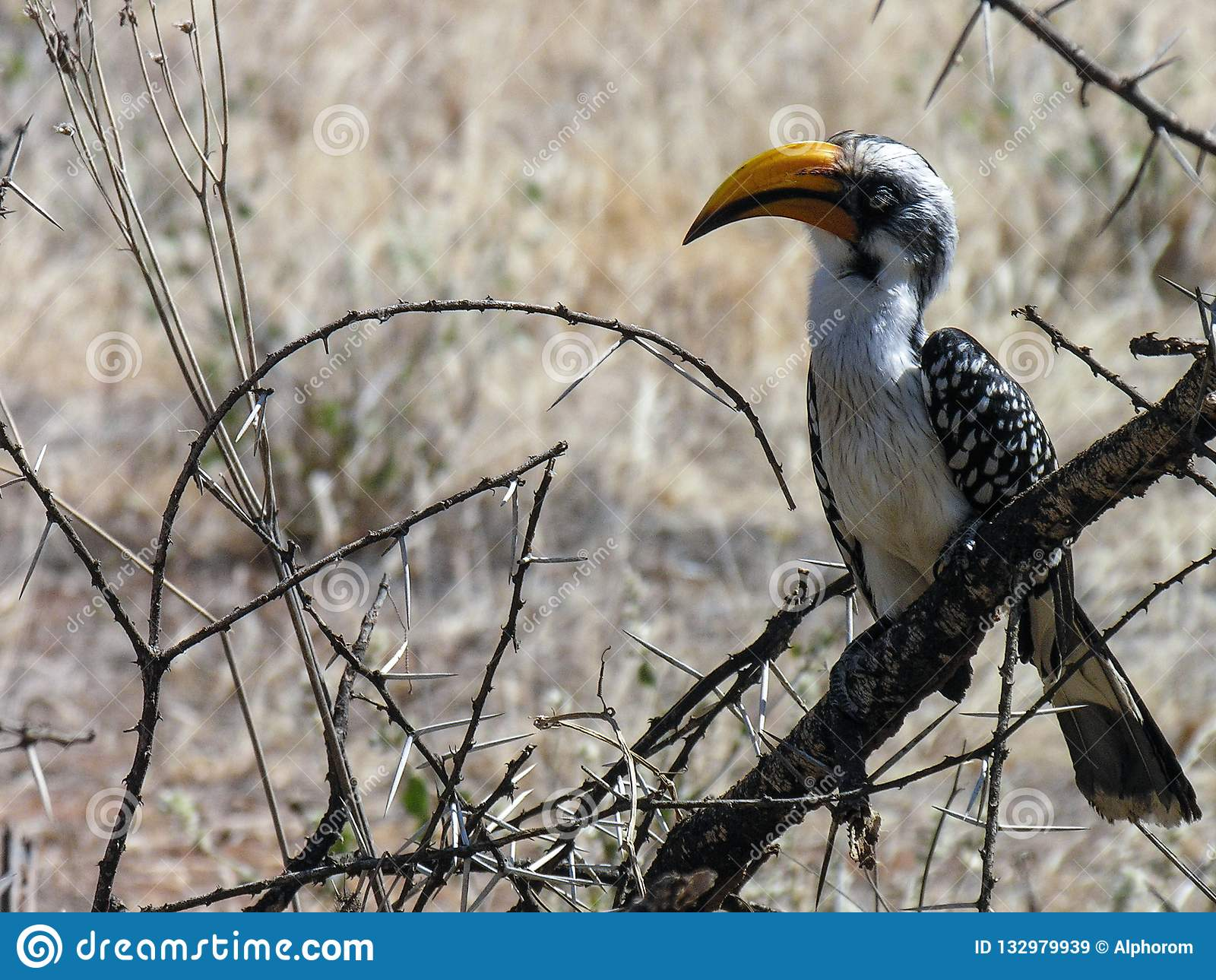 Yellow billed hornbill, Samburu, Kenya
