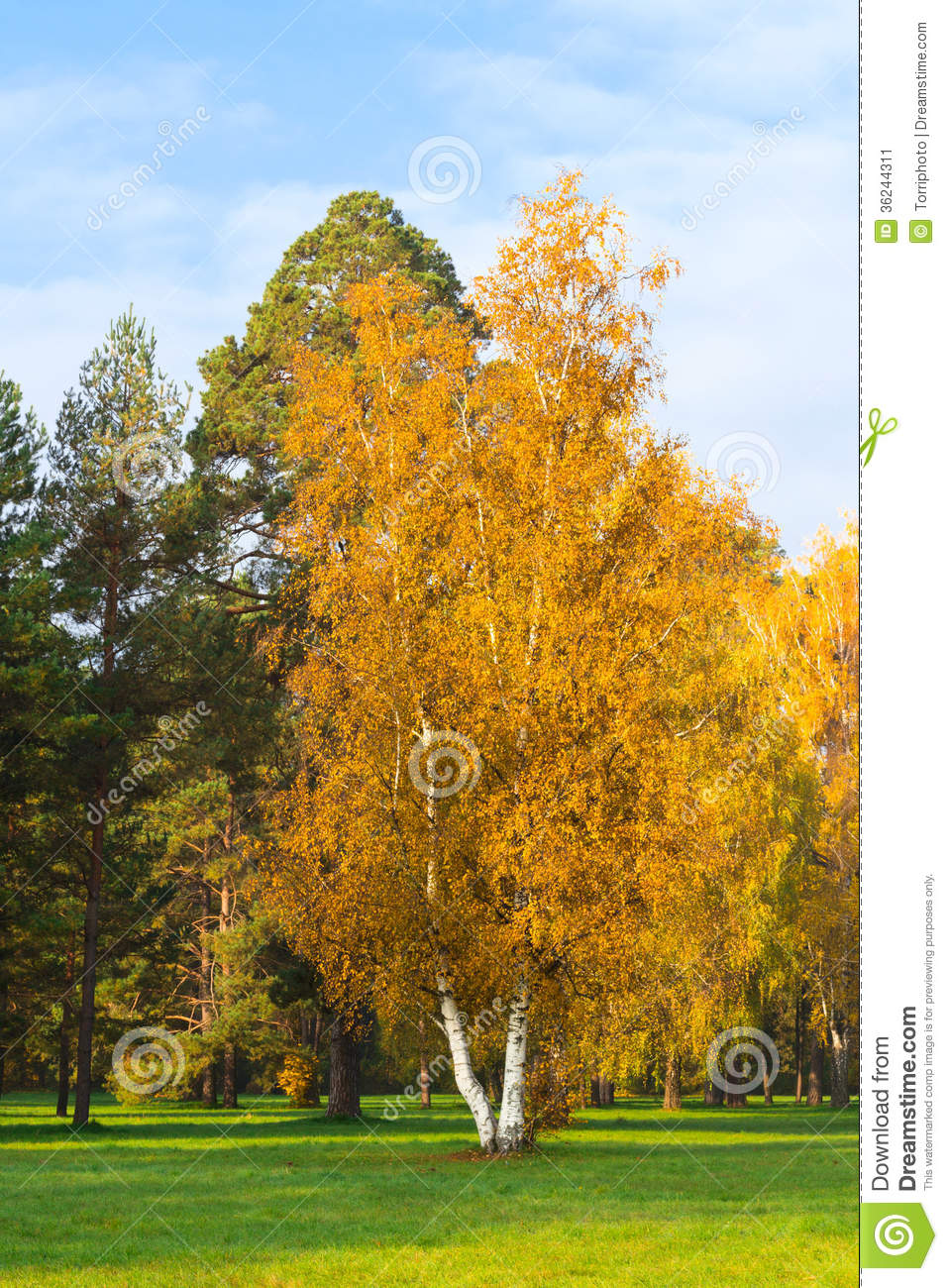 yellow birch stock image image of garden  countryside vector pine trees pine trees vector png