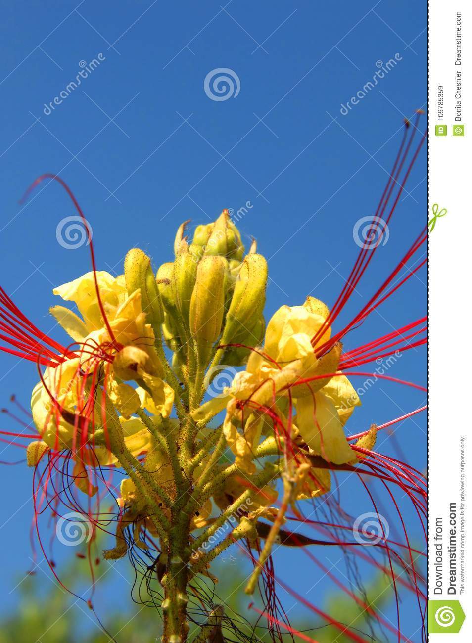 Yellow Bird Of Paradise Blooming Stock Image Image Of Blooming
