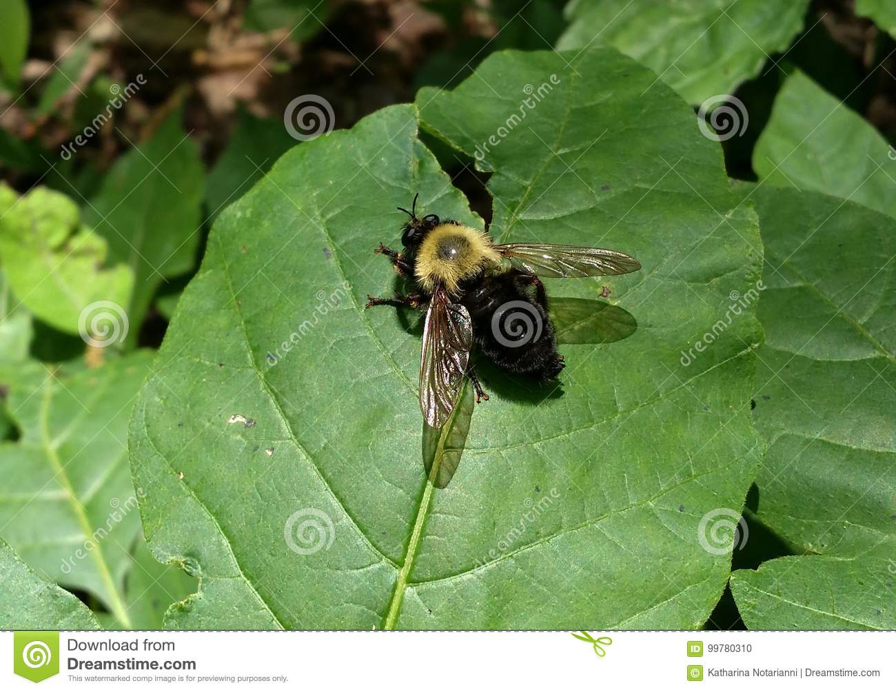Black Bumble Bee >> Yellow And Black Bumble Bee On Leaf Stock Photo Image Of