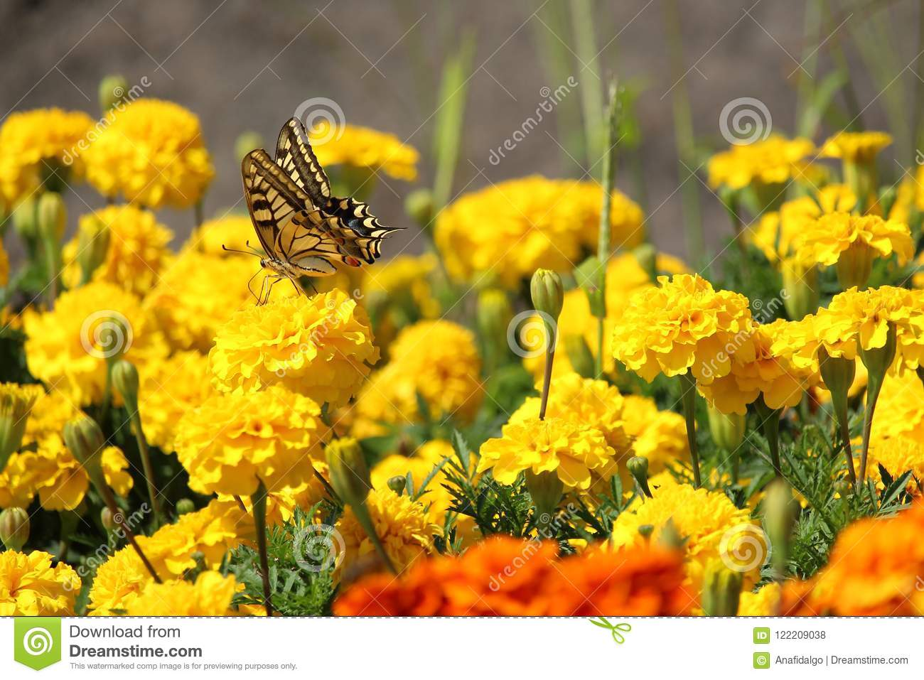 Yellow and black butterfly on yellow carnation flower stock photo yellow and black butterfly on yellow carnation flower mightylinksfo