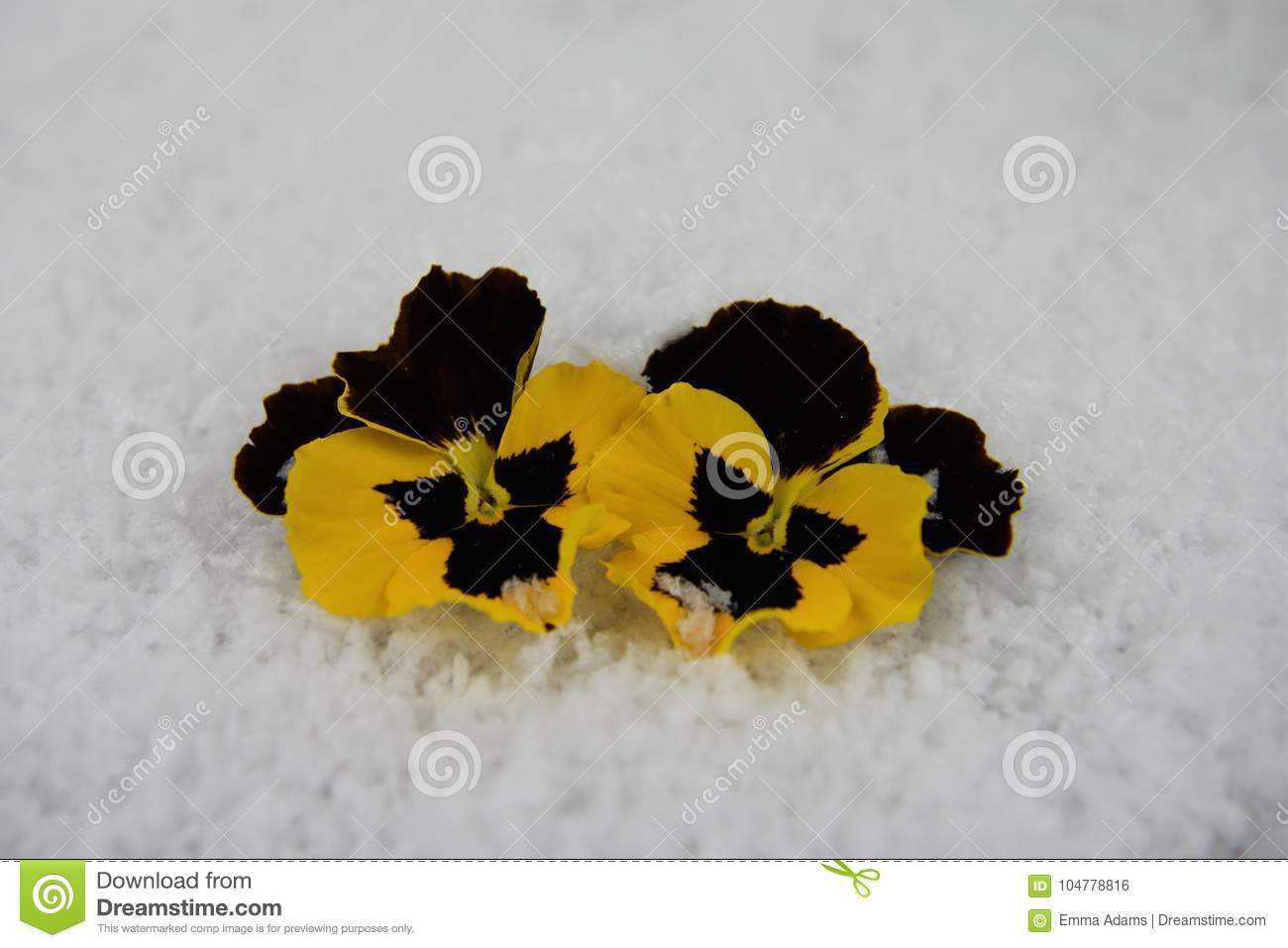 Winter Season Photography Image Of Yellow And Black Pansy Flowers In