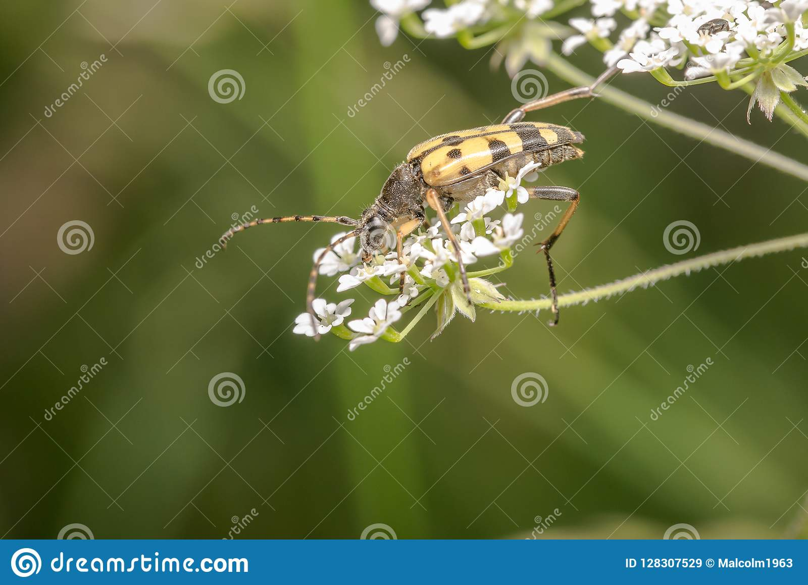 Yellow And Black Long Horn Beetle Stock Image - Image of