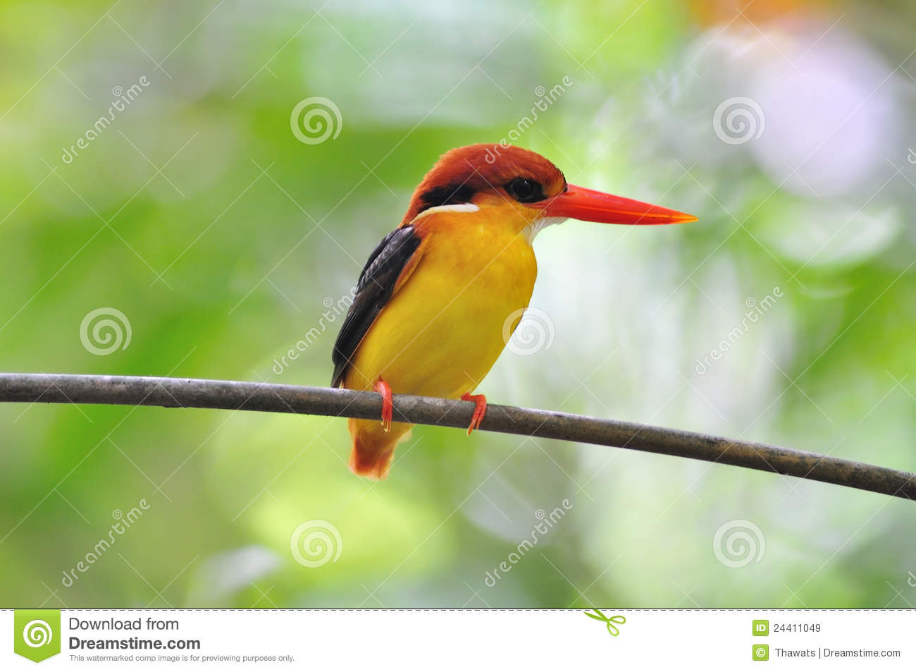 Yellow black and red bird black backed kingfisher stock for Oiseau jaune et noir