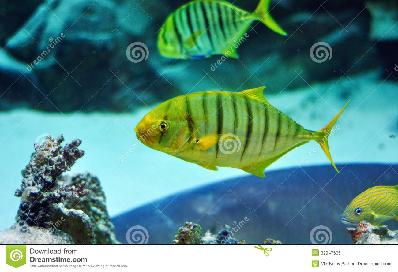 Black and yellow freshwater aquarium fish - Yellow And Black Striped Fish In Aquarium Royalty Free Stock Image
