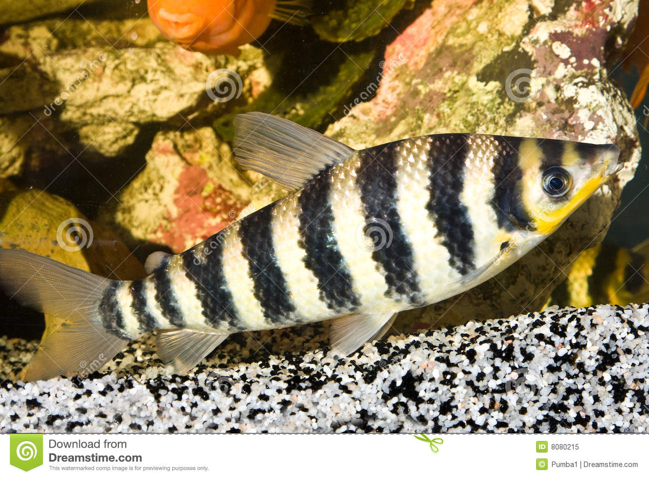 Yellow Black Striped Fish Aquarium Stock Images Download 439