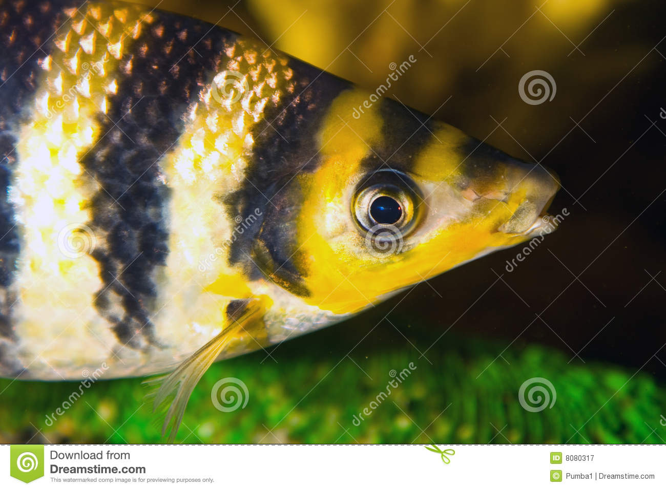 Black and yellow freshwater aquarium fish -