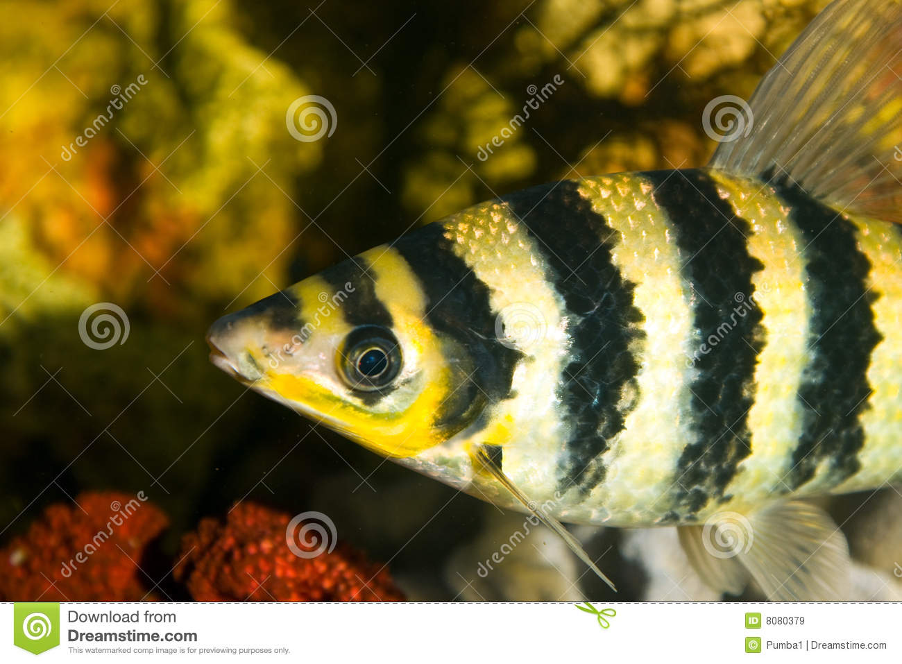 Black and yellow freshwater aquarium fish - Yellow Black Striped Fish In An Aquarium Royalty Free Stock Images