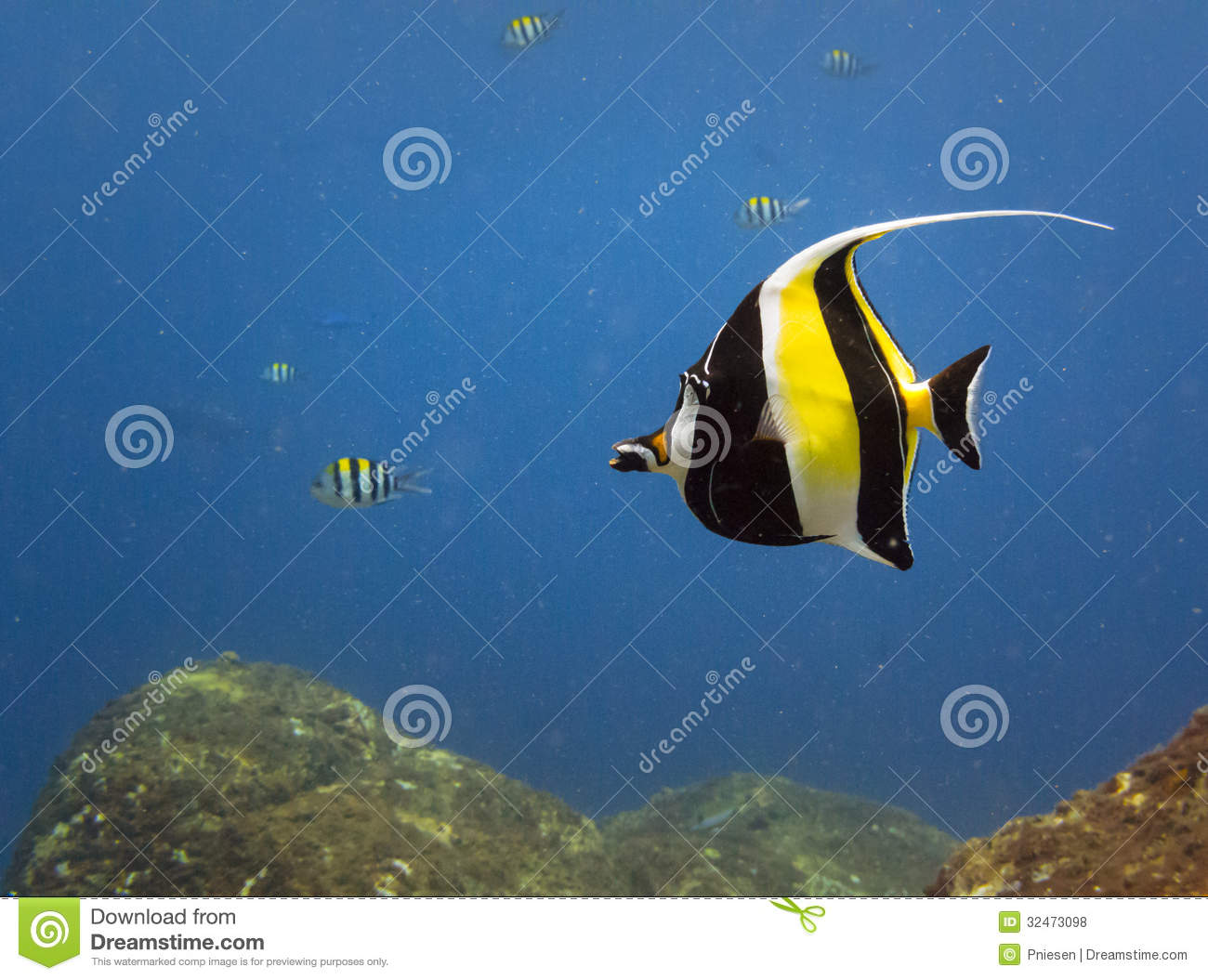 yellow, black, white striped tropical fish swim castle rock reef