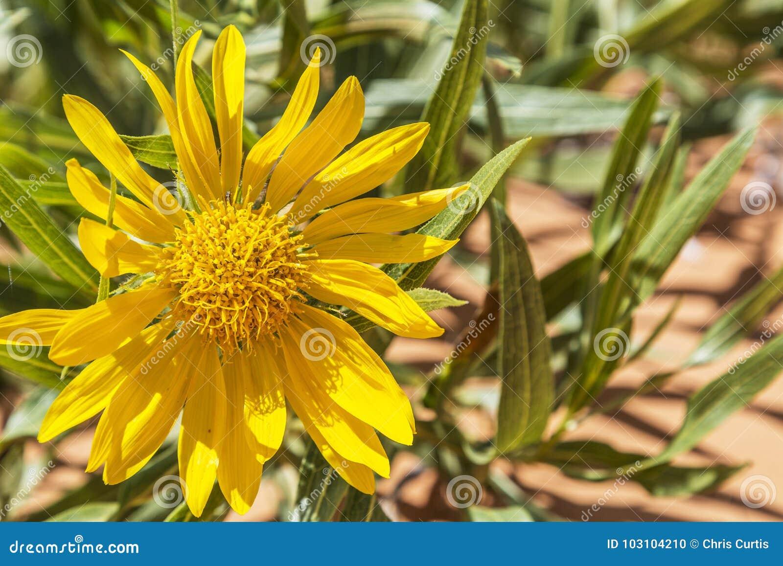 Yellow Blanket Flower In Utah Usa Stock Photo Image Of Petal
