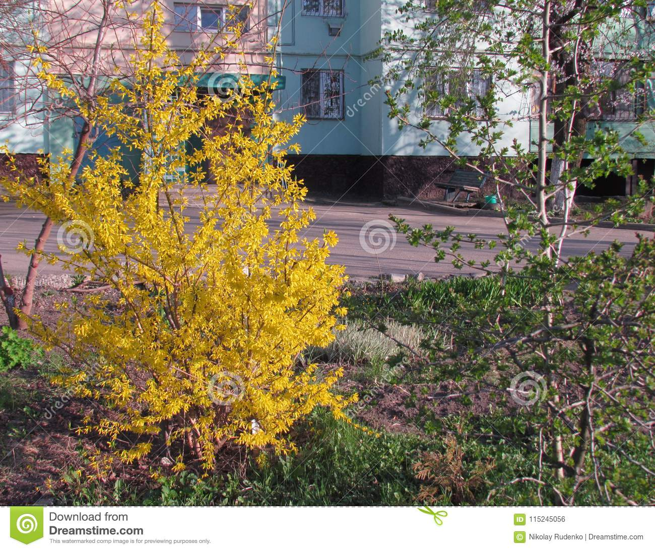 Yellow Blooming Bush In The Midth Of Spring Stock Photo Image Of