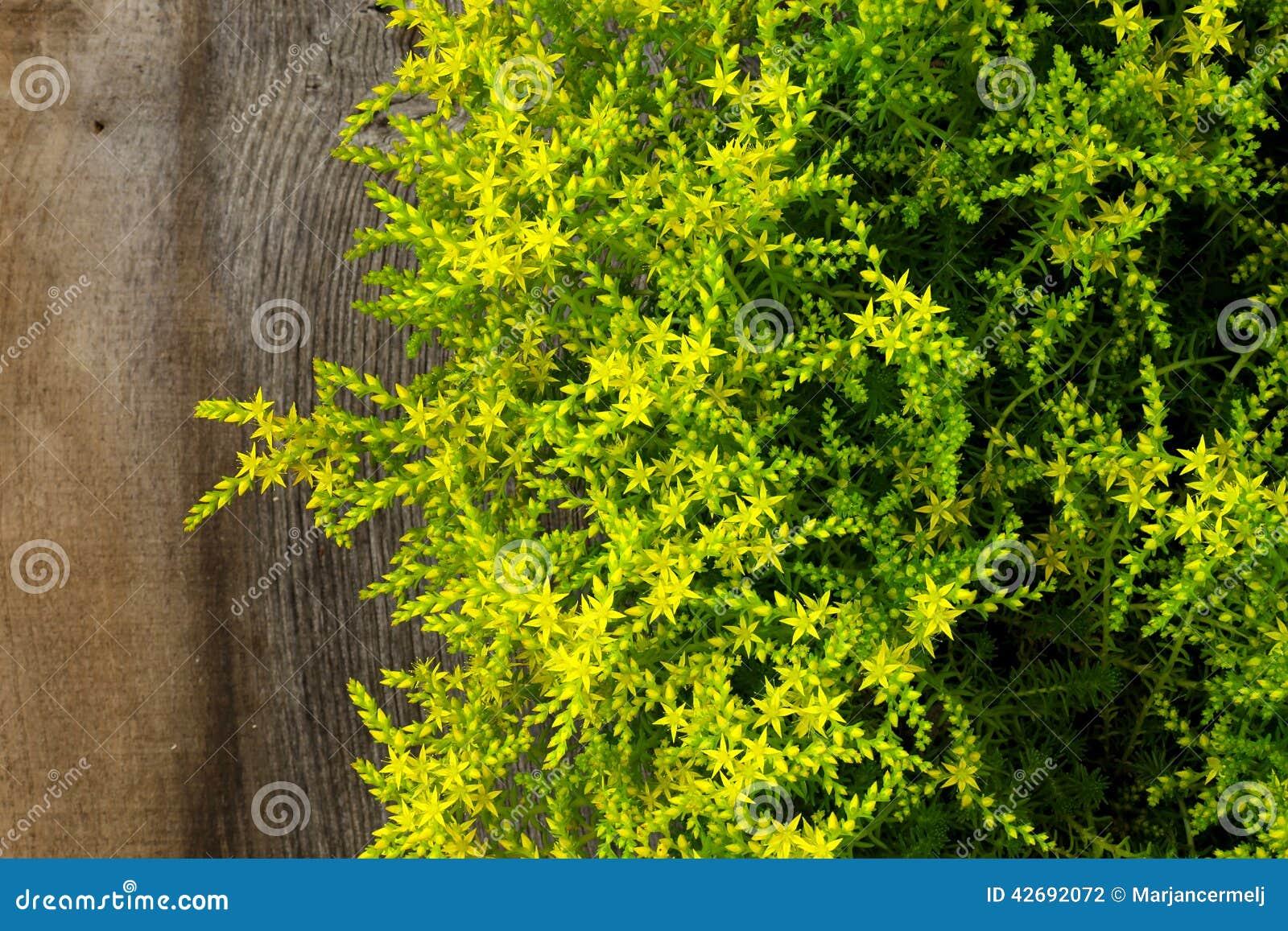 Yellow Blooming Sedum Small Star Shaped Flowers Rockery Garden P