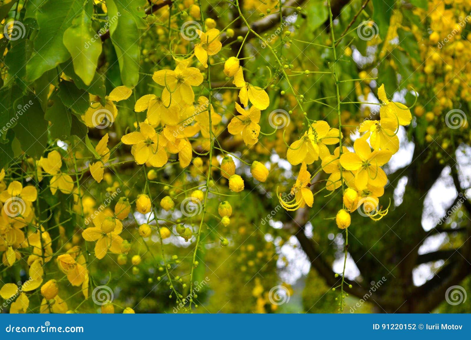 Yellow Blooming Tree Flowers Royal Botanic Gardens Kandy Sri