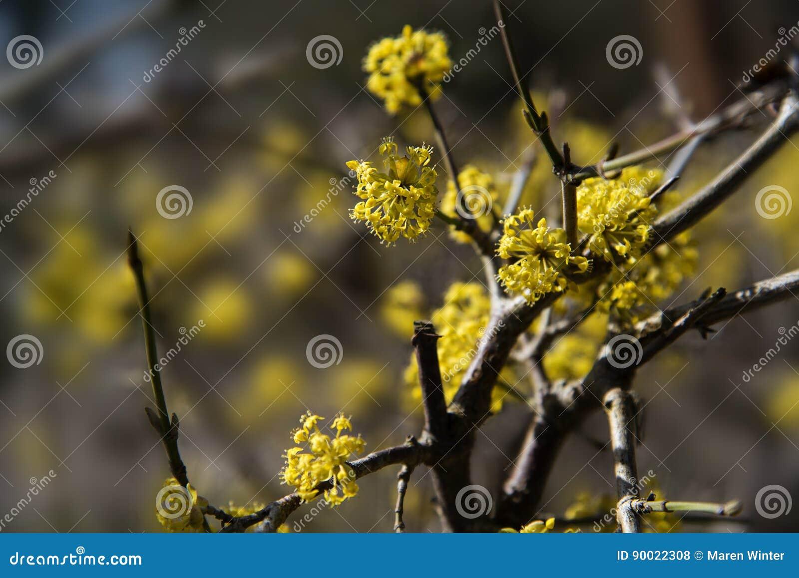 Yellow Blossom At Cornelian Cherry Dogwood Cornus Mas An Earl Stock