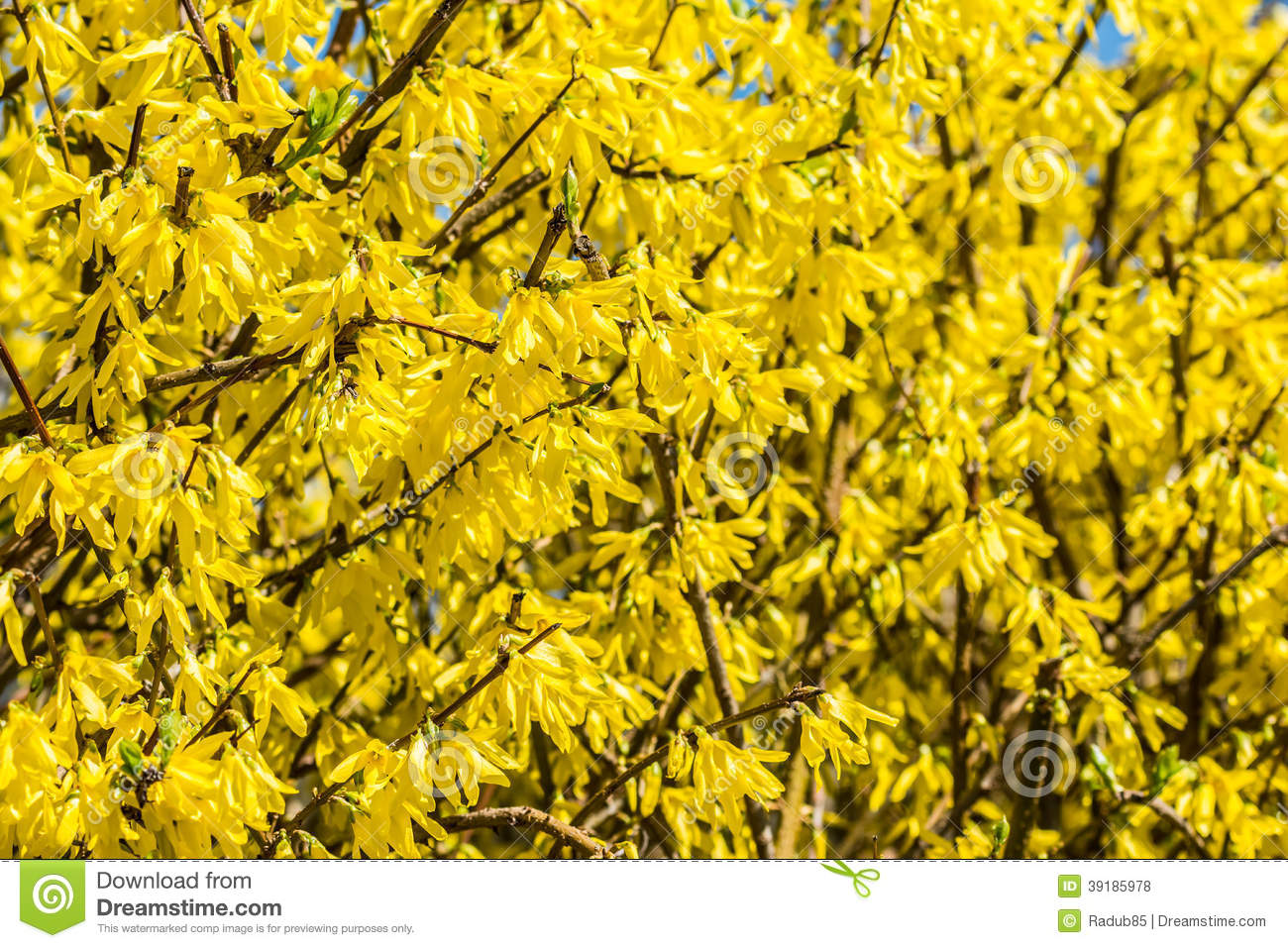 Yellow Blossom Flowers In Spring Stock Photo - Image: 39185978