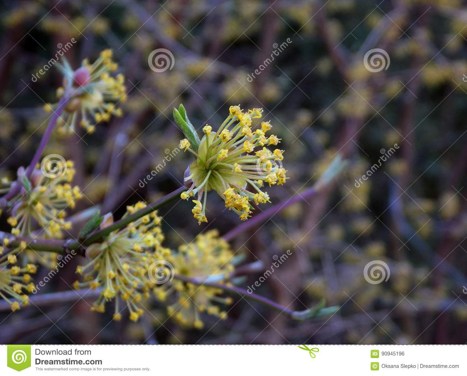 Yellow Blossoms Of Cornus Mas Flowers Of Cornelian Cherry Bush In
