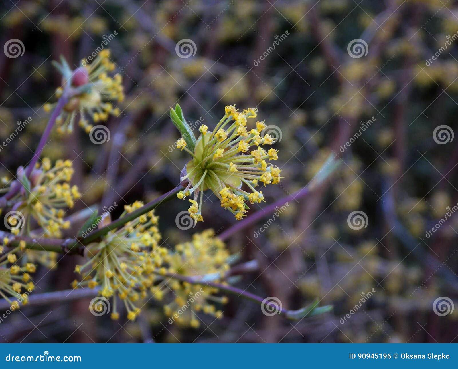 Yellow blossoms of cornus mas flowers of cornelian cherry bush in yellow blossoms of cornus mas flowers of cornelian cherry bush in the early spring dogwood cornel flowering mightylinksfo