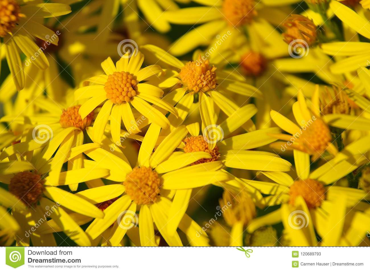 Bright Yellow Flowers Of A Ragwort Stock Image Image Of Bloom