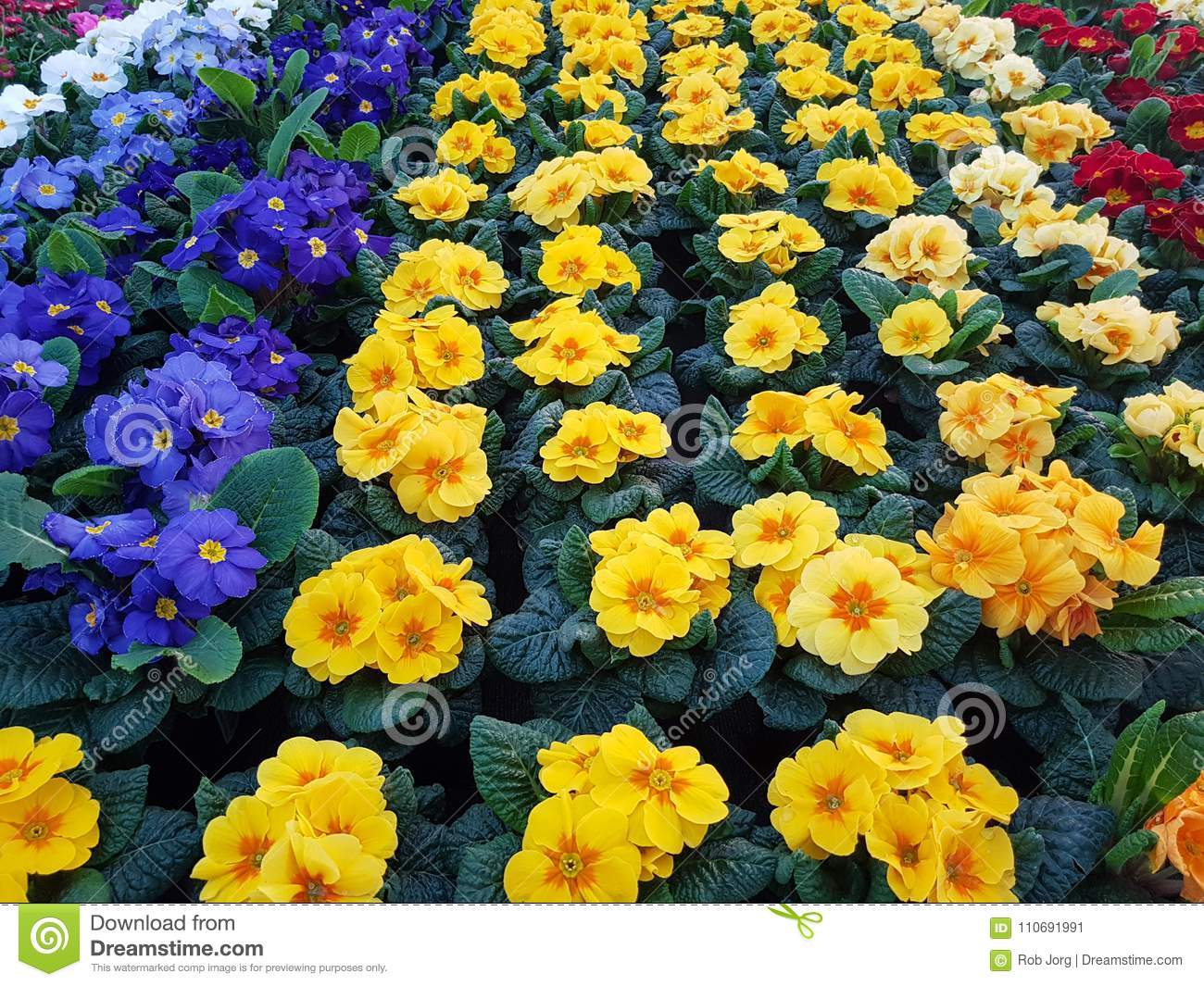 Yellow And Blue Flowers In A Pot Stock Image Image Of Yellow