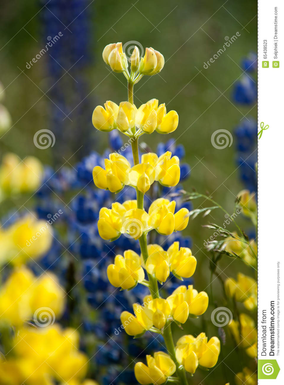 Yellow And Blue Wild Lupines Lupinus Perennis Flowers In The Field