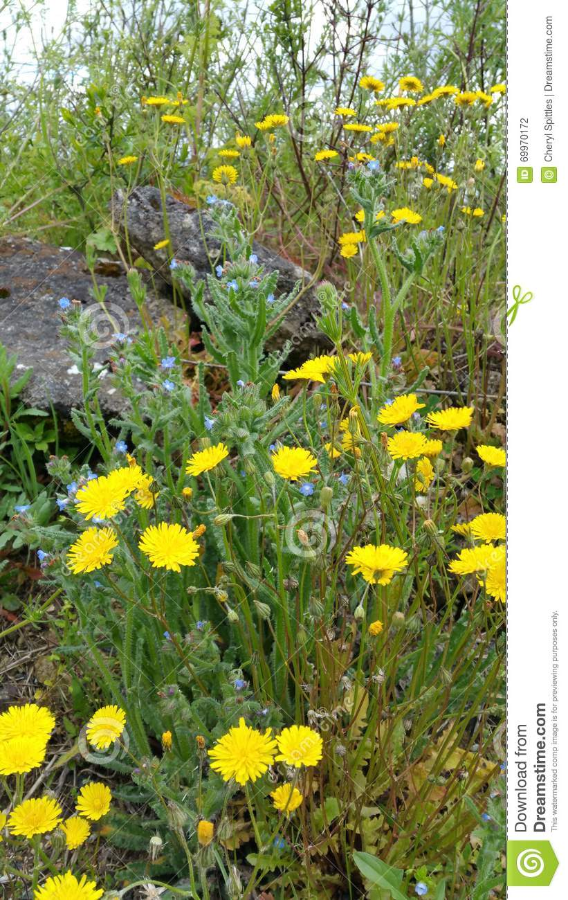 Clumps of yellow and blue wild spring flowers