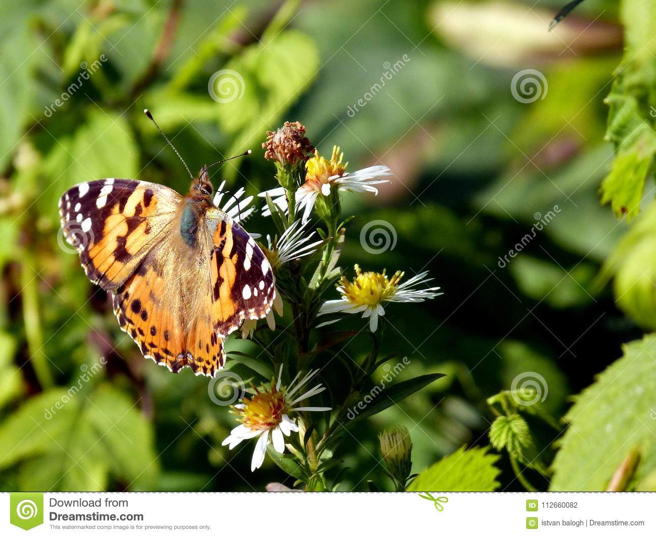 Yellow Brown And Blue Butterfly On White Flowers Stock Photo