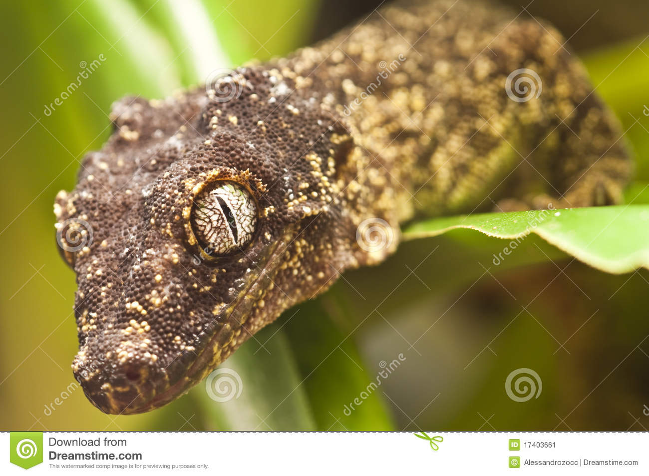 Yellow And Brown Leaf Geko Stock Image Image 17403661