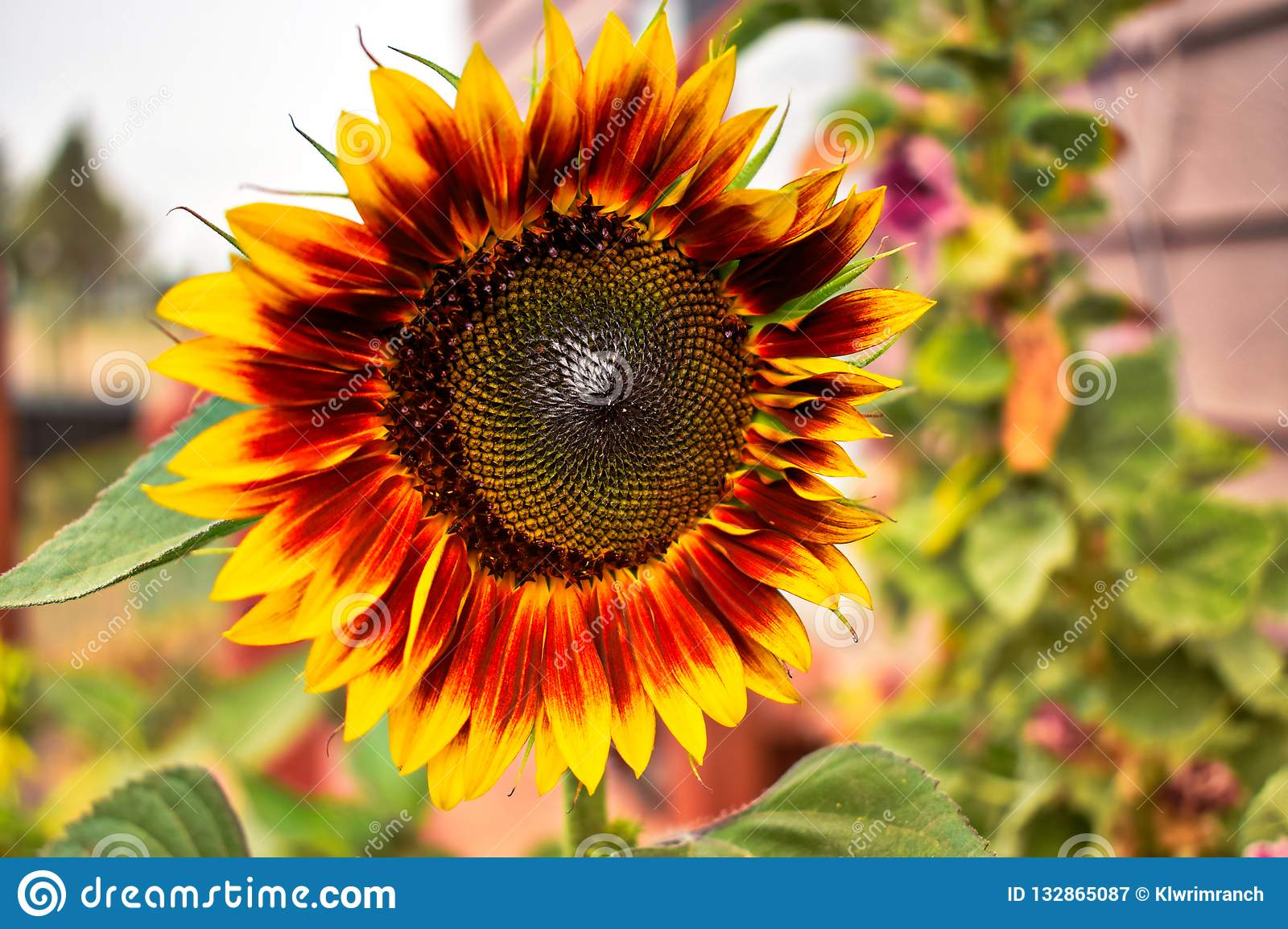 Yellow And Brown Summer Sunflowers Stock Image - Image of ...