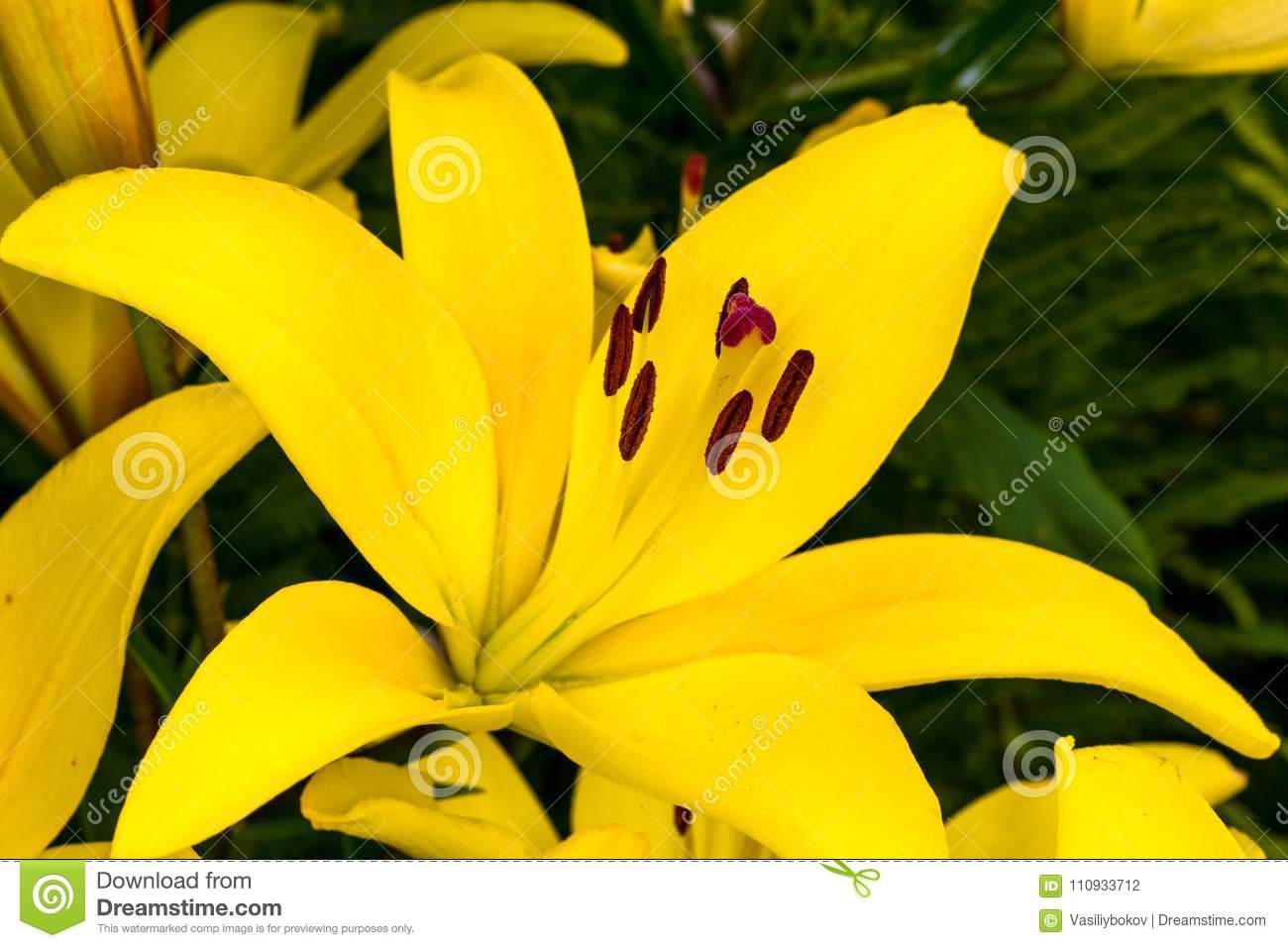 Yellow Bud Yellow Lilies In The Garden Stock Photo Image Of